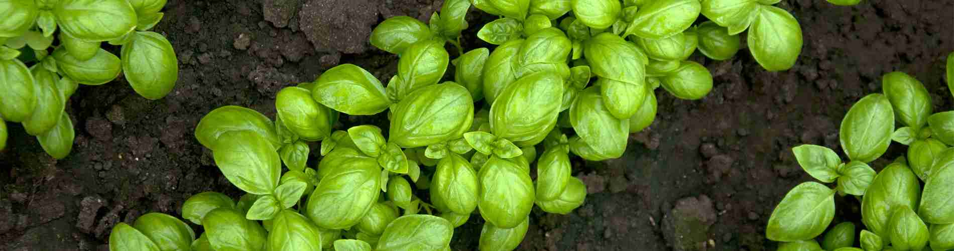 rows of young basil