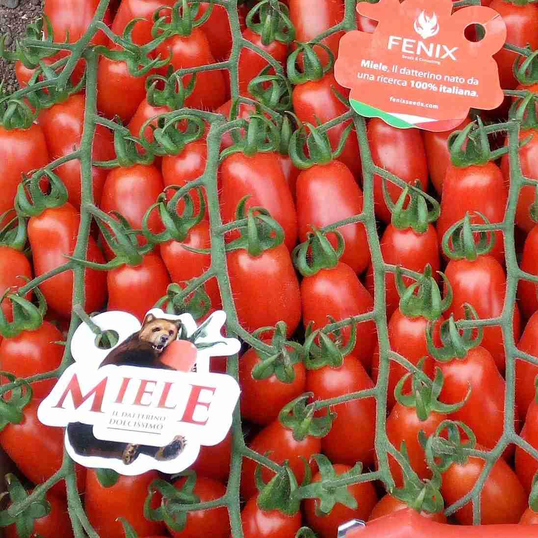 Pomodoro categoria datterino FENIX